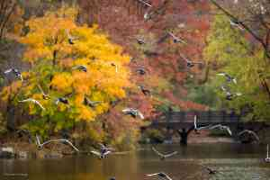 Pigeons fly in front of the Oak Bridge as viewed from the Hernshead in Central Park in NYC