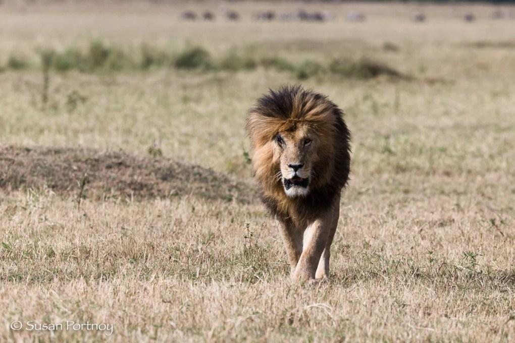 Scarface the Lion-SPortnoy_20151001_7480