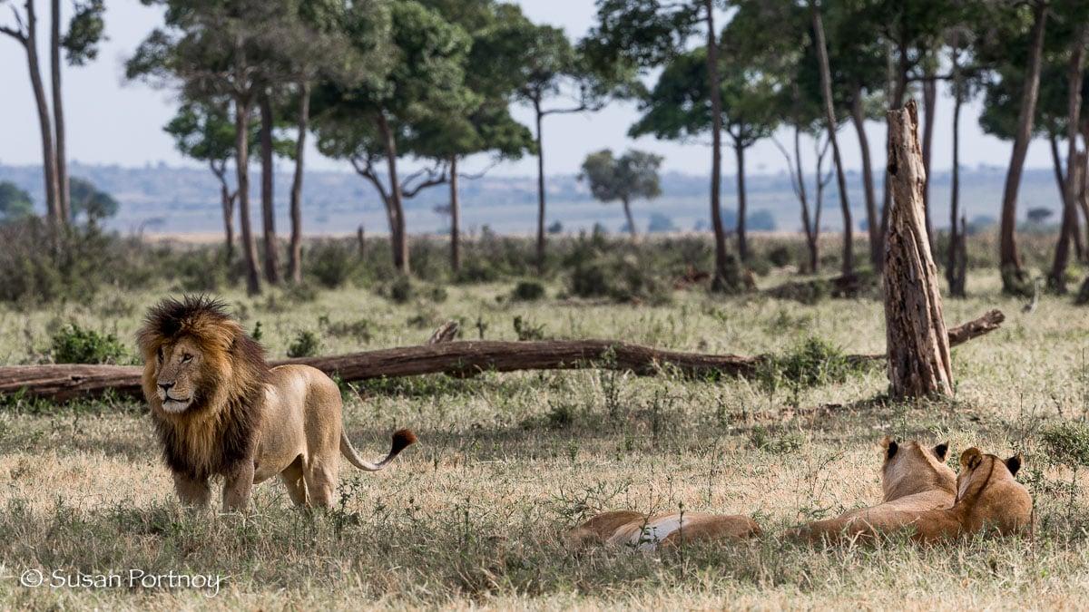 Scarface the Lion -SPortnoy_20151001_7554-