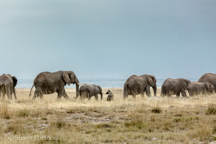 Elephants pass by a hyena in Amboseli, Kenya
