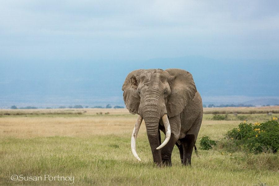 Giant bull elephant in Amboseli, Kenya