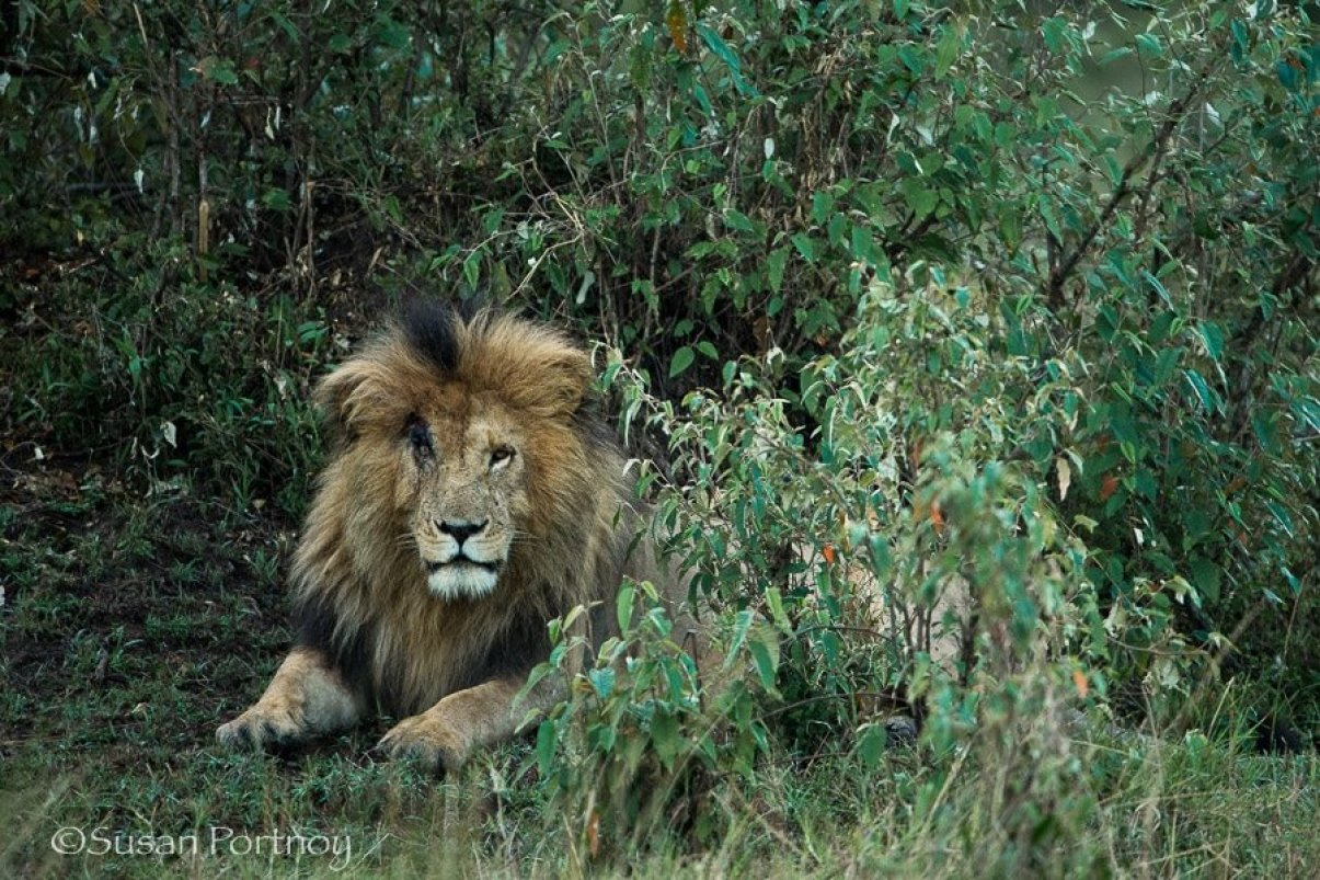 Scar the lion in the Masai Mara, Kenya