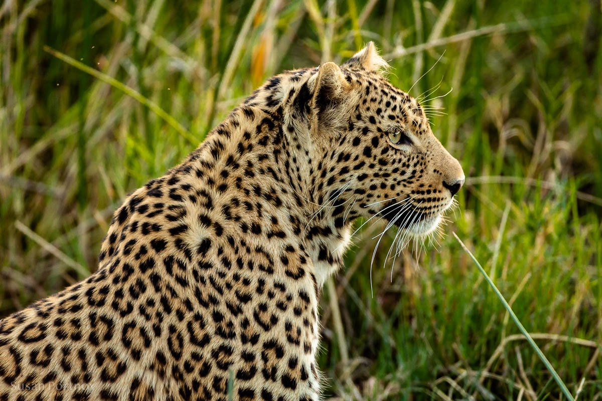 Leopard in the grass - My favorite African Cams