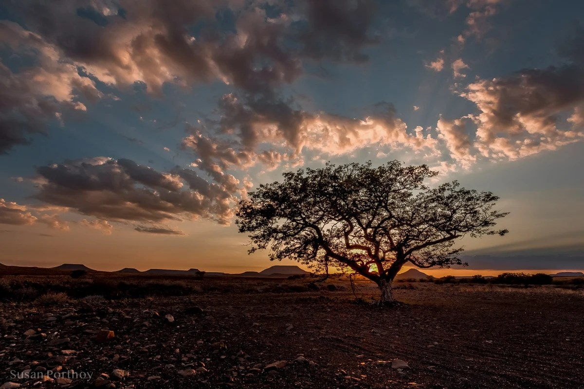 A gorgeous Shepherd's tree not far from camp was a perfect muse for a sunrise photo