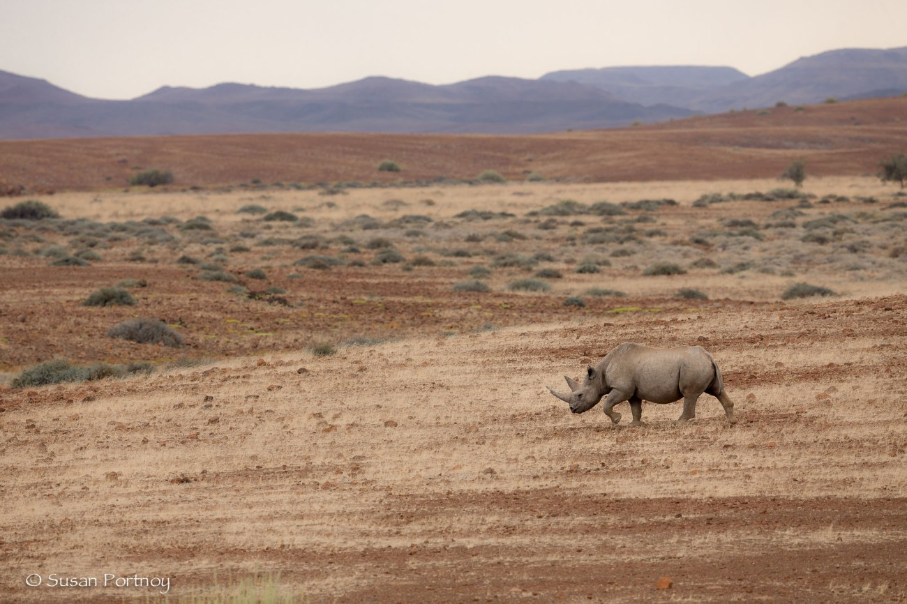 Kangombe, a black rhino in the Palmwag Concession