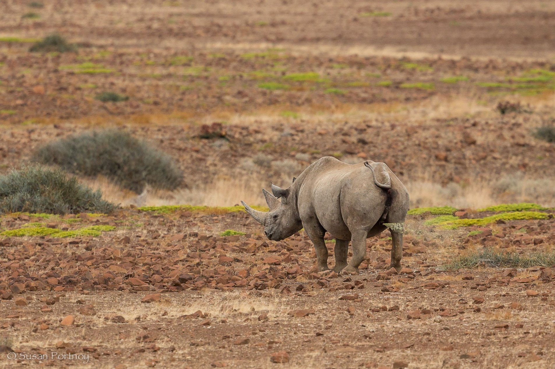 Kangombe, a black rhino marks his territory near Desert Rhino Camp in Namibia