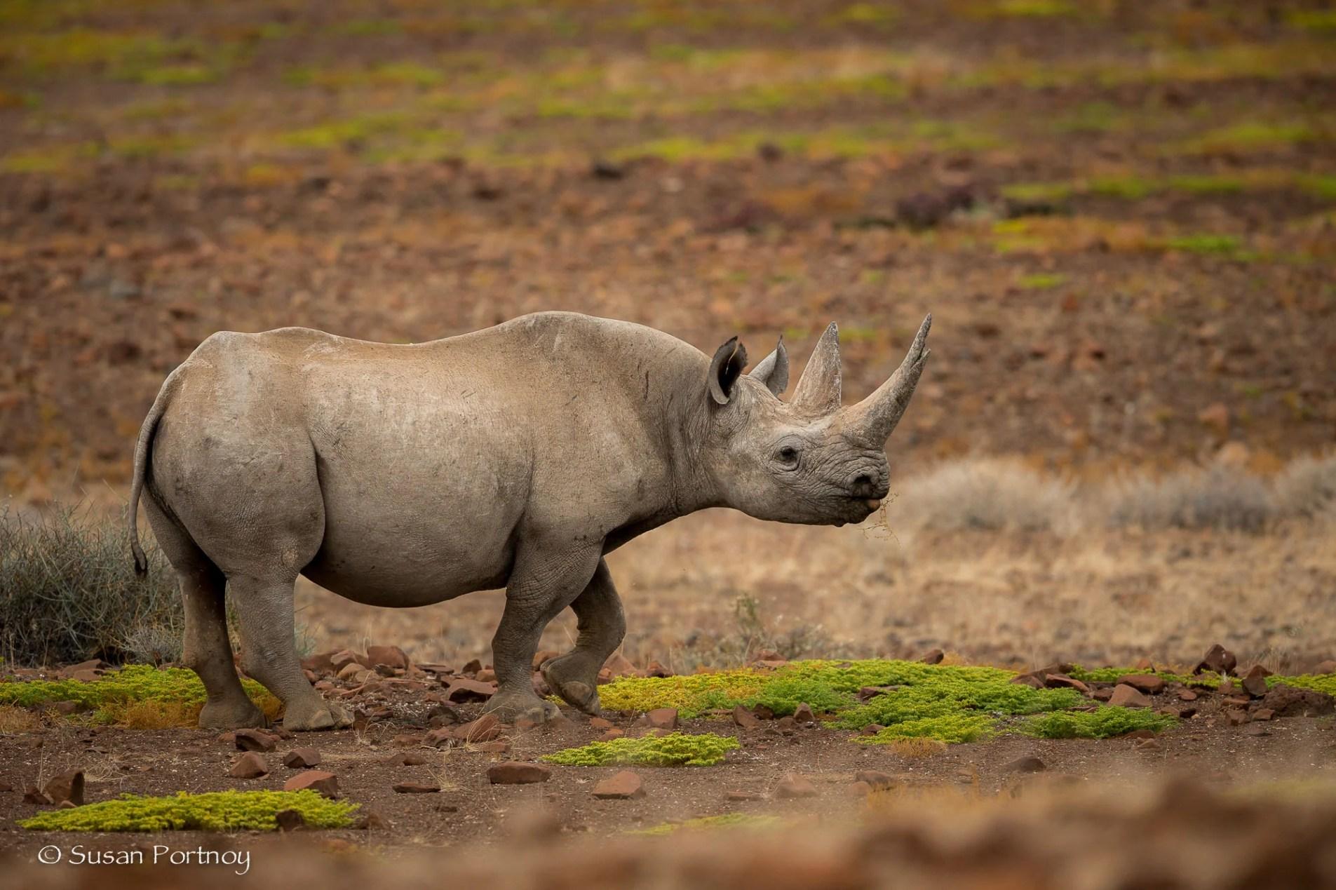 Kangombe black rhino near Desert Rhino Camp, Namibia