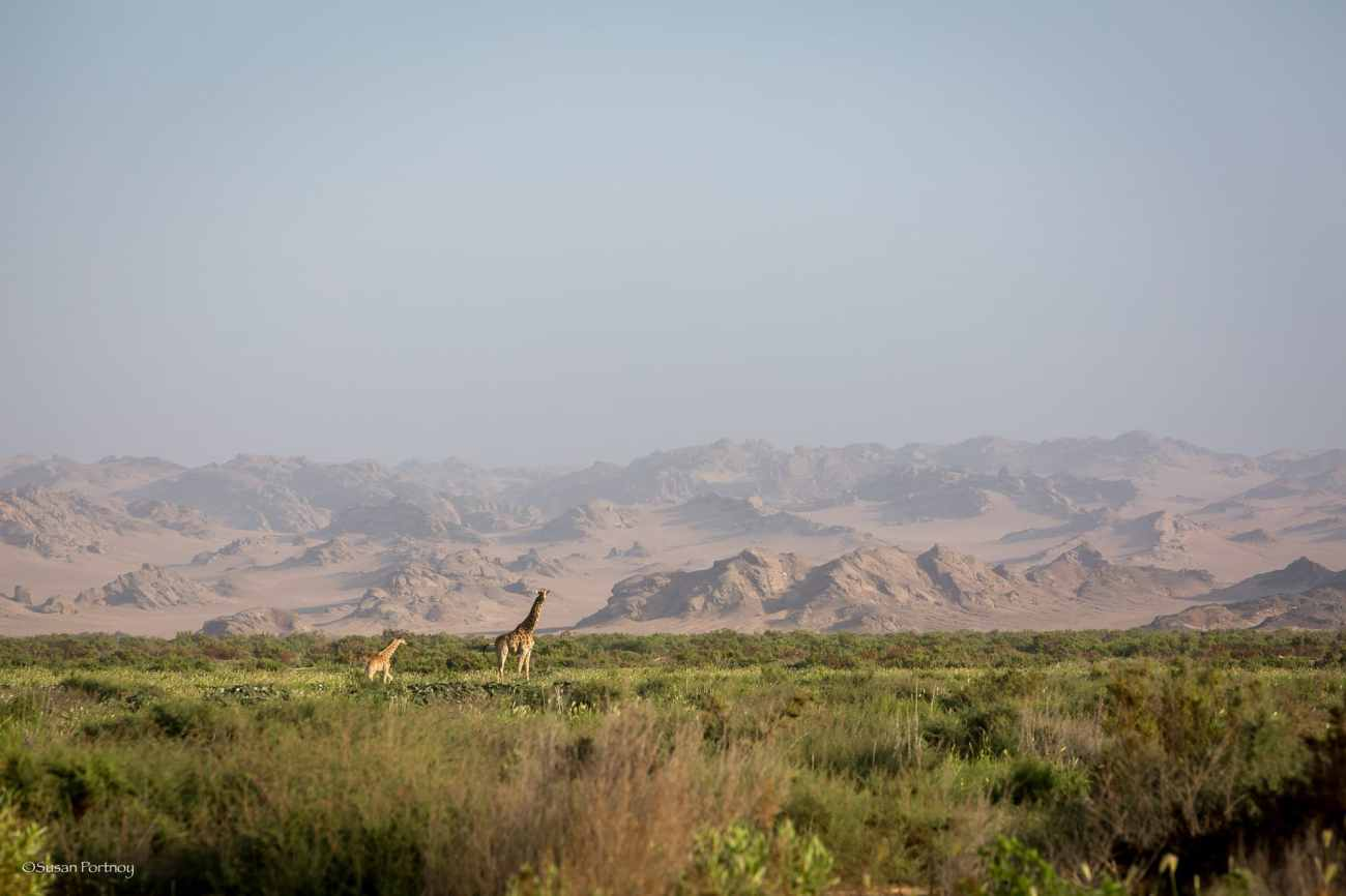 Two giraffes walk in the flood plains near Hoanib Skeleton Coast Camp in Namibia