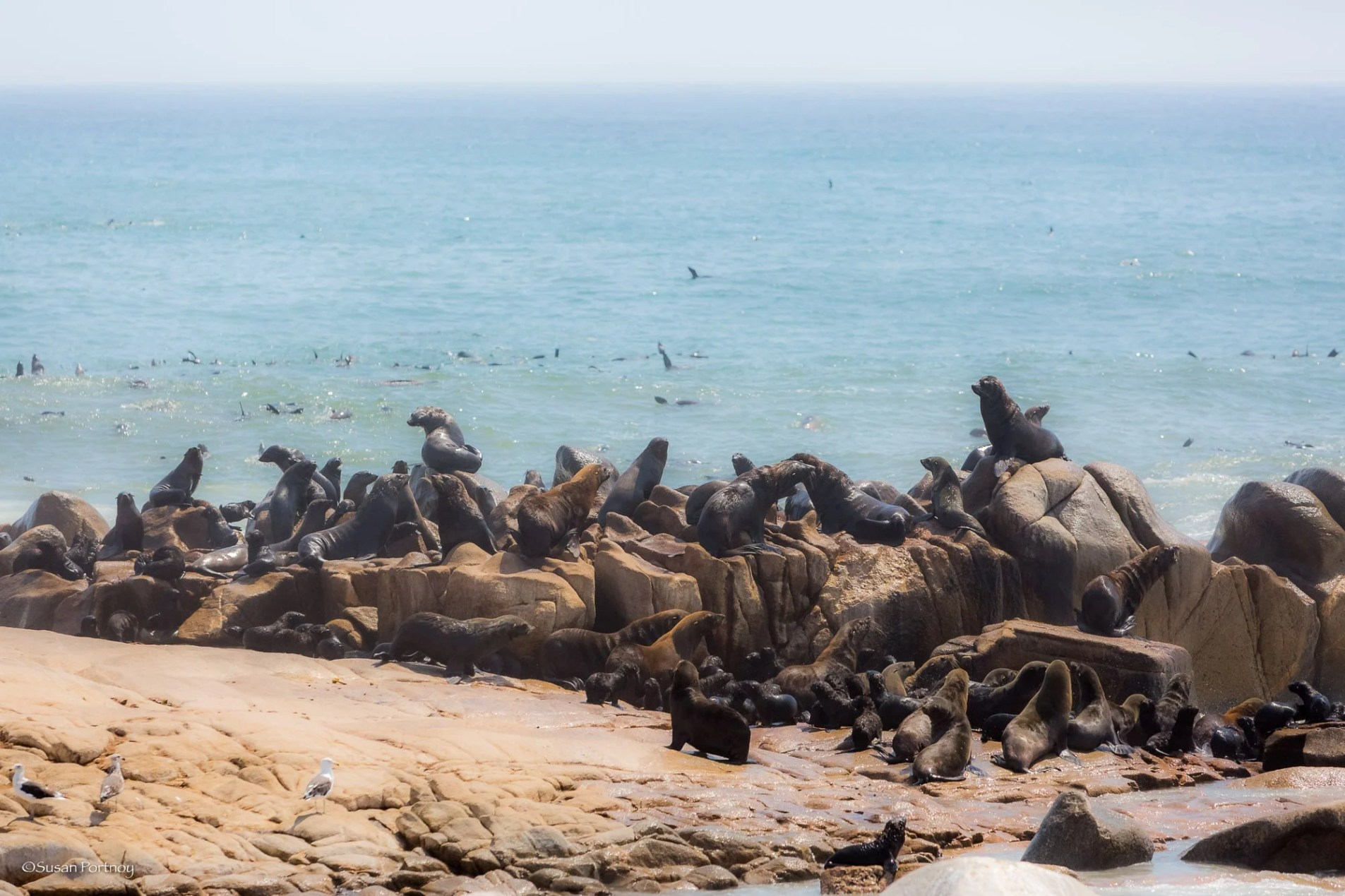 Hundreds of seals rest and play on the Skeleton Coast shoreline