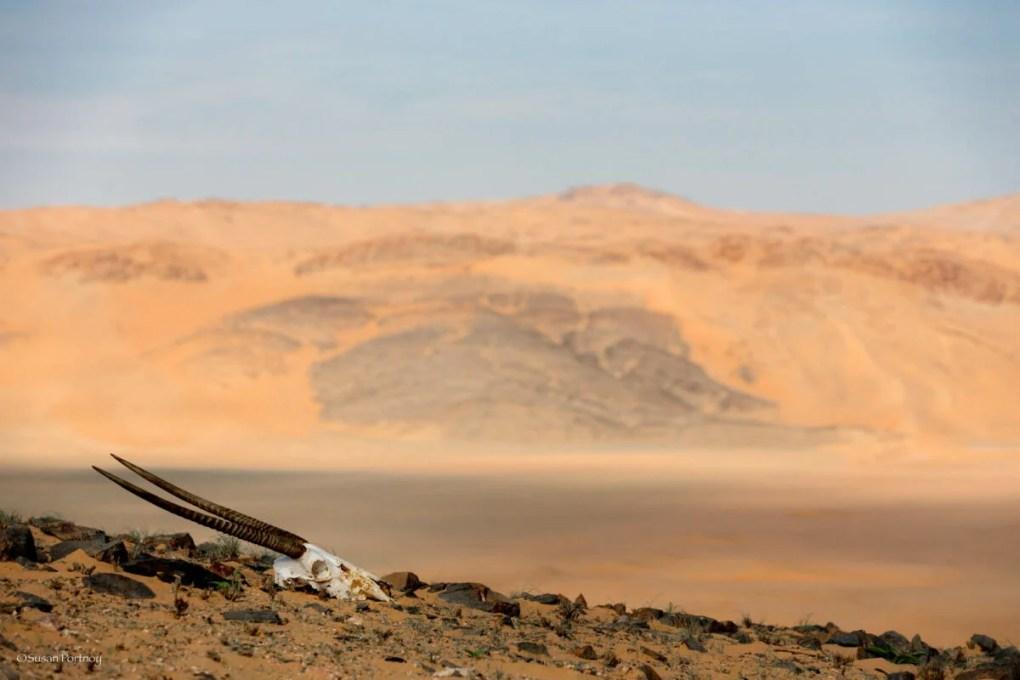 Oryx skull near Serra Cafema in Namibia