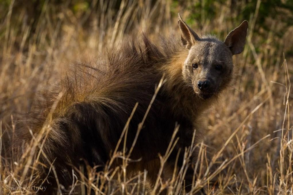 Brown hyena in Madikwe