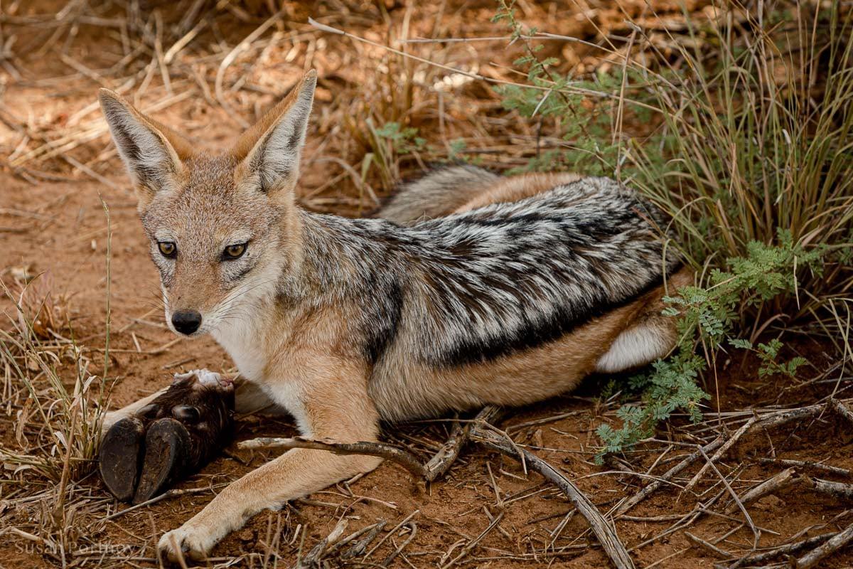 A black-backed jackal and his impala hoof