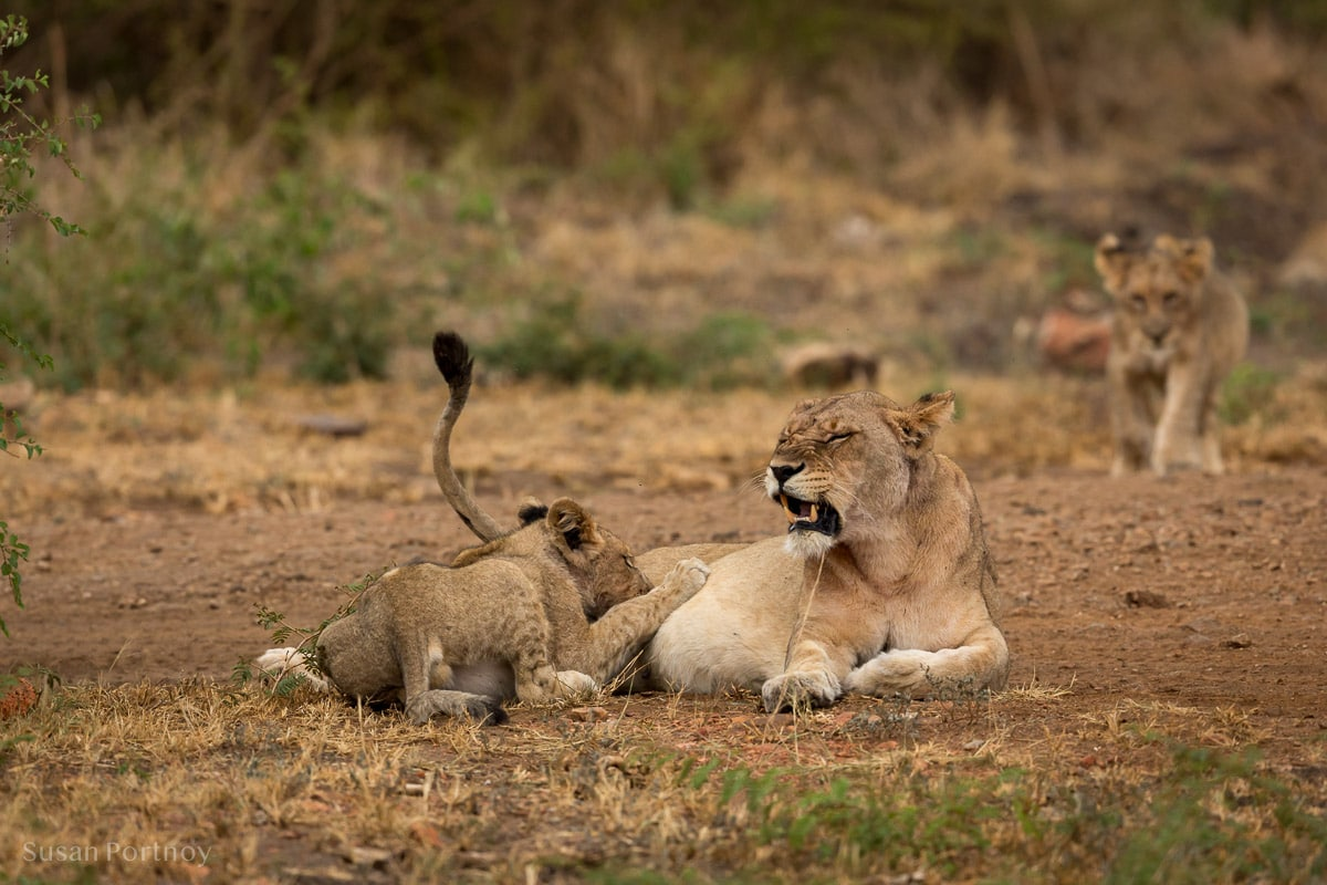 Lion cub nurses on its mother - Molori Safari Lodge