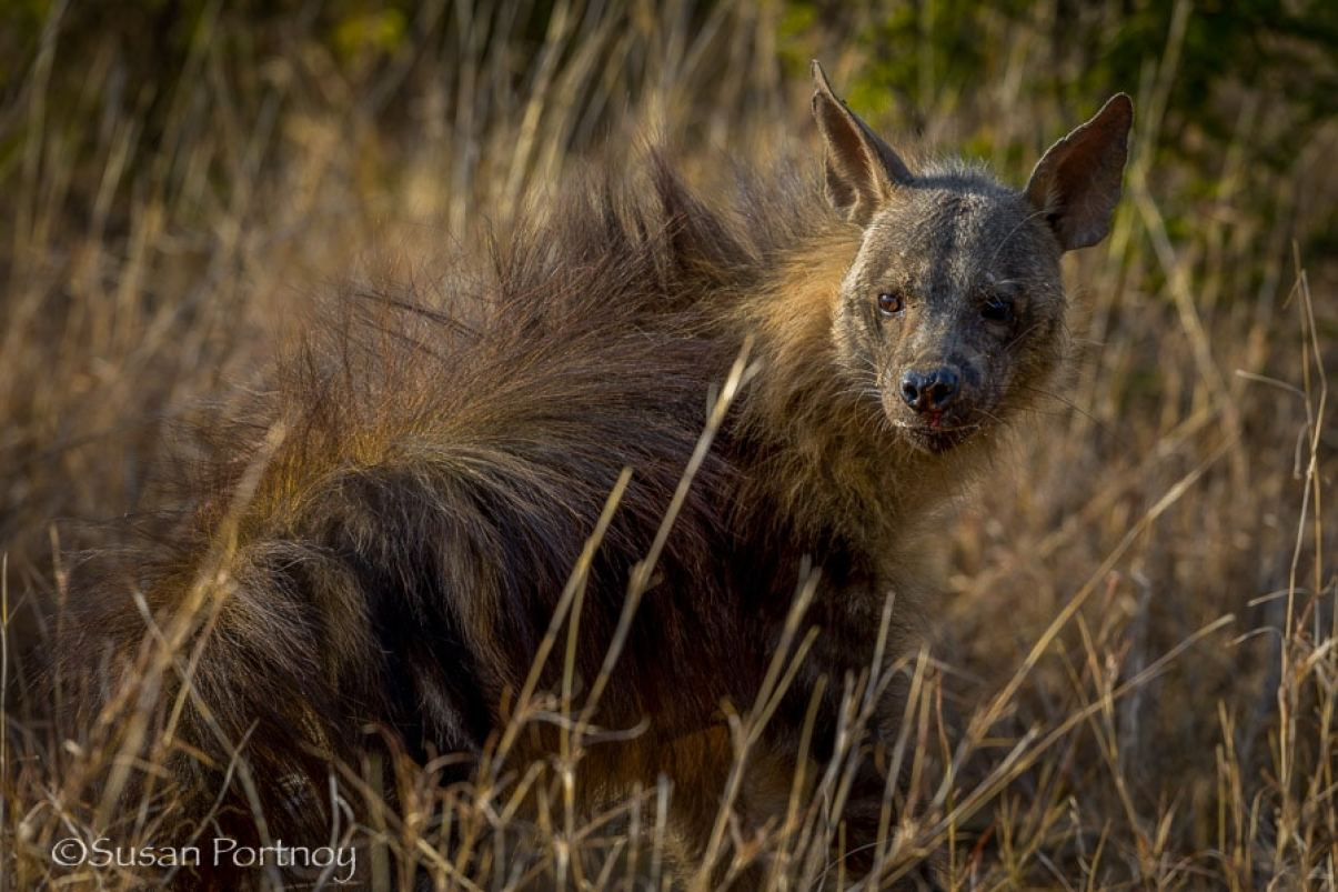A hyena near the Molori Safari Lodge, celebrity hotel in South Africa