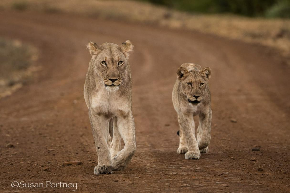Lions near the Molori Safari Lodge, celebrity hotel in South Africa