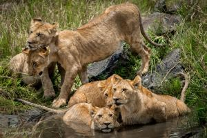 Cubs in the Masai Mara, Kenya