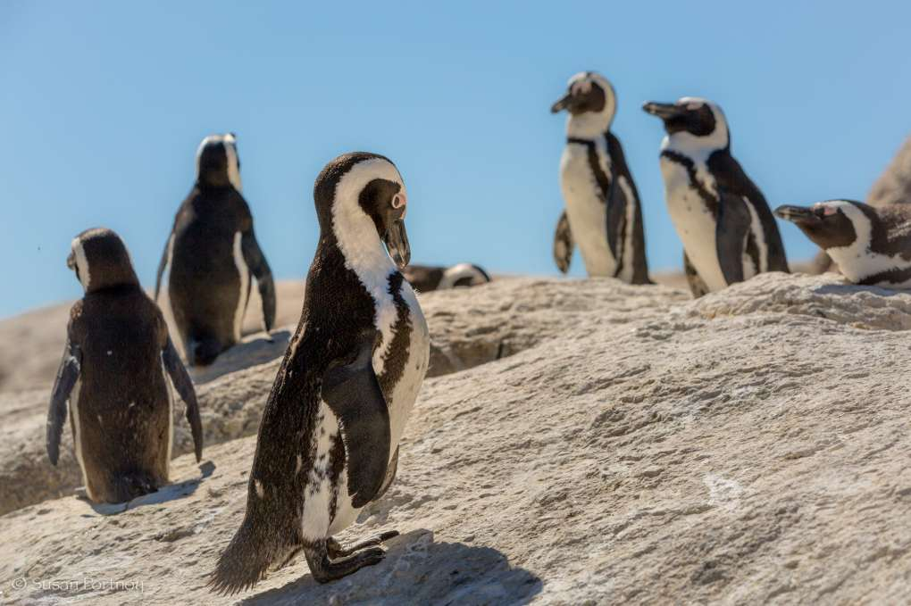 Penguins at boulders beach in Cape Town