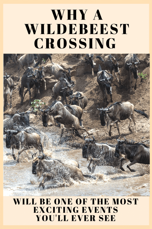 Ever wonder what it's like to see wildebeest crossing the Mara River during the migration- Find out here (1)