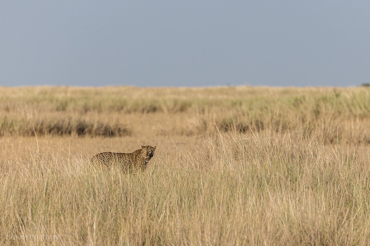 A leopard with a wildebeest kill (hidden in the high grass) a short distance from where a crossing was taking place