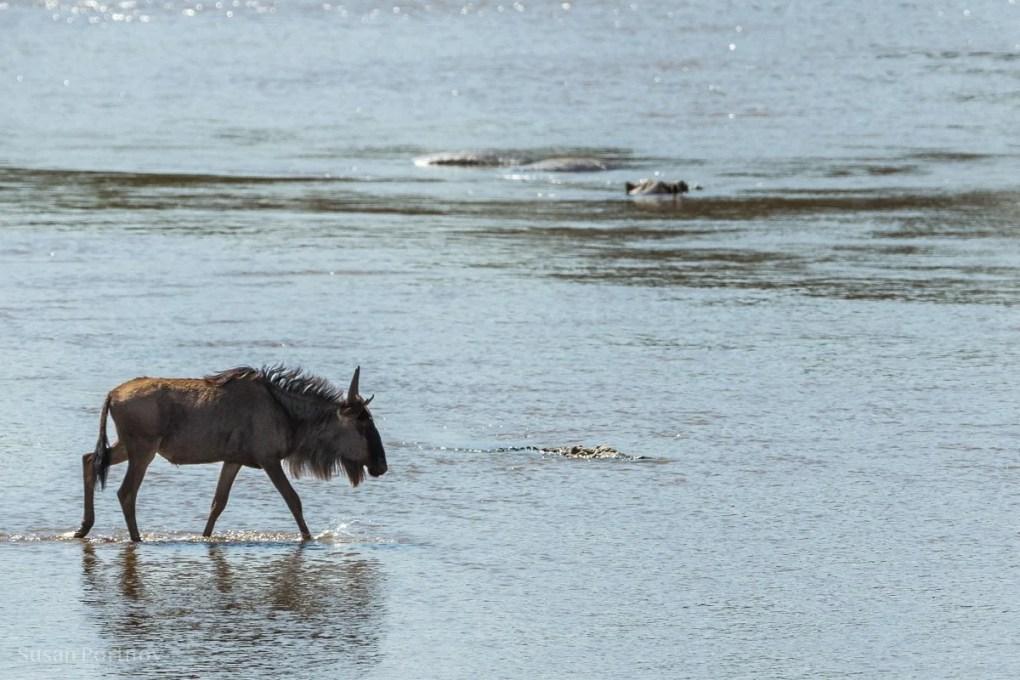 Lone wildebeest walks into the Mara River in Kenya