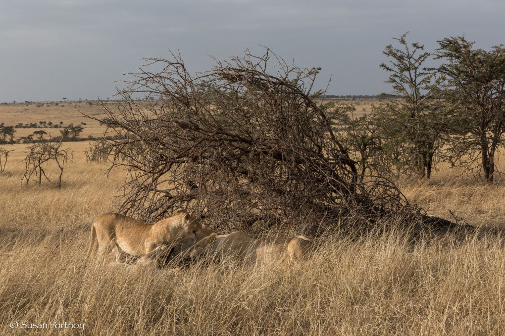 Lion pride eat a kill under a tree