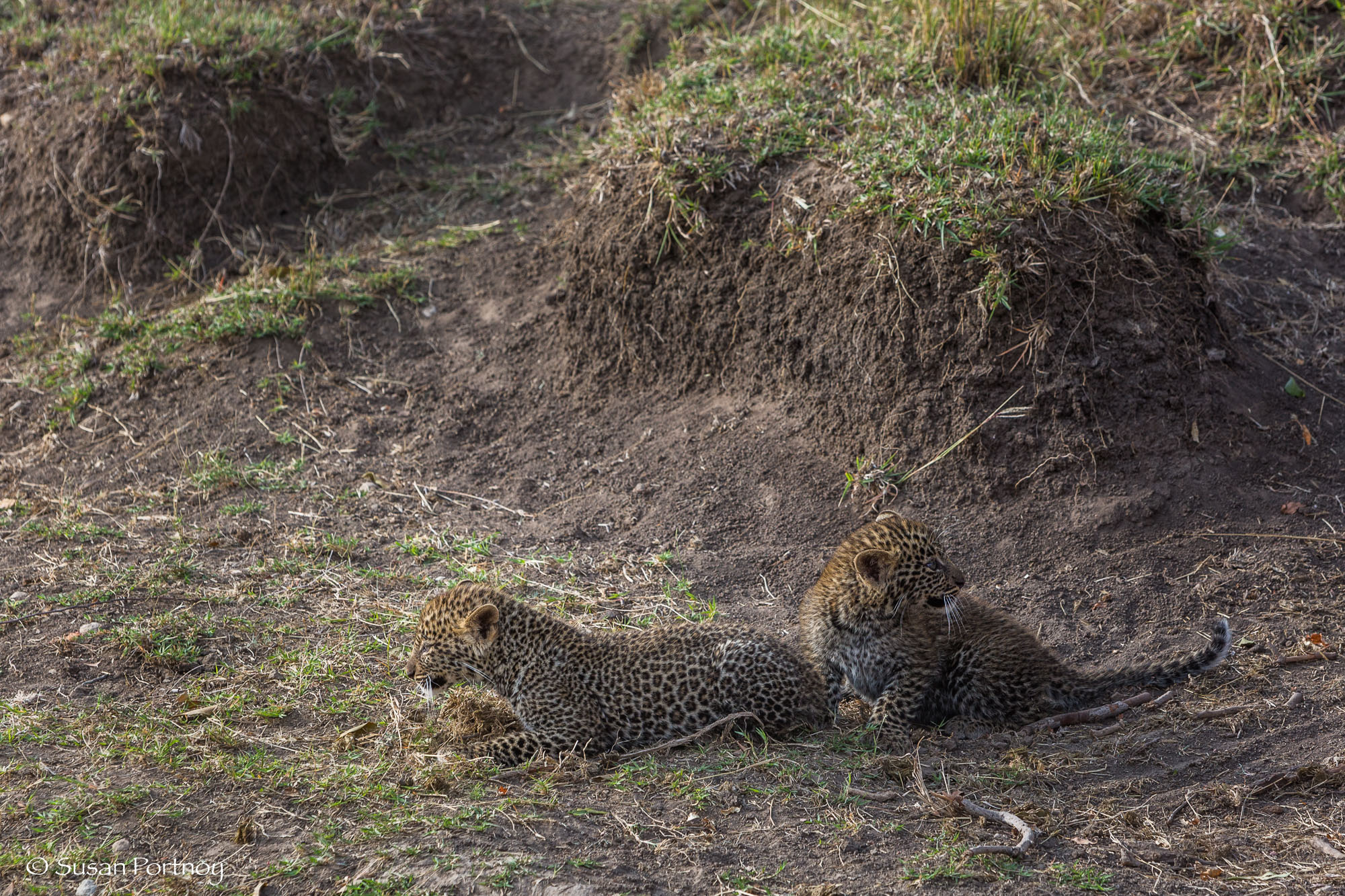 The cubs afraid of our vehicles, cower in a gully