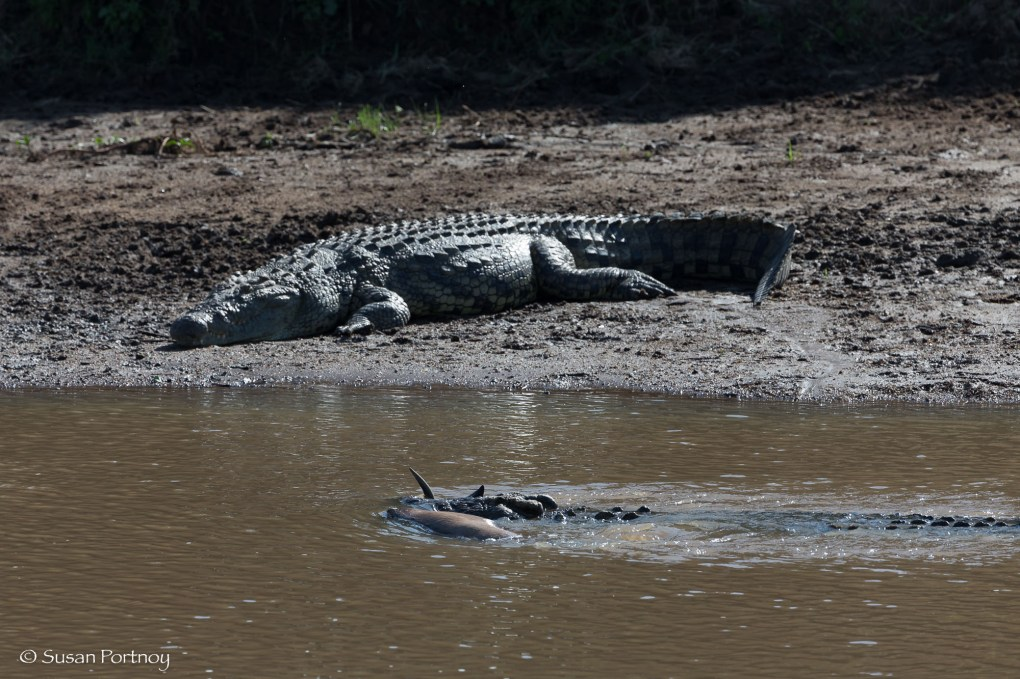crocodile with a wildebeest in its mouth on the Mara River in Kenya