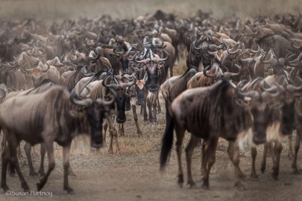 Wildebeest in big herd walking after a crossing, Masai Mara, Kenya