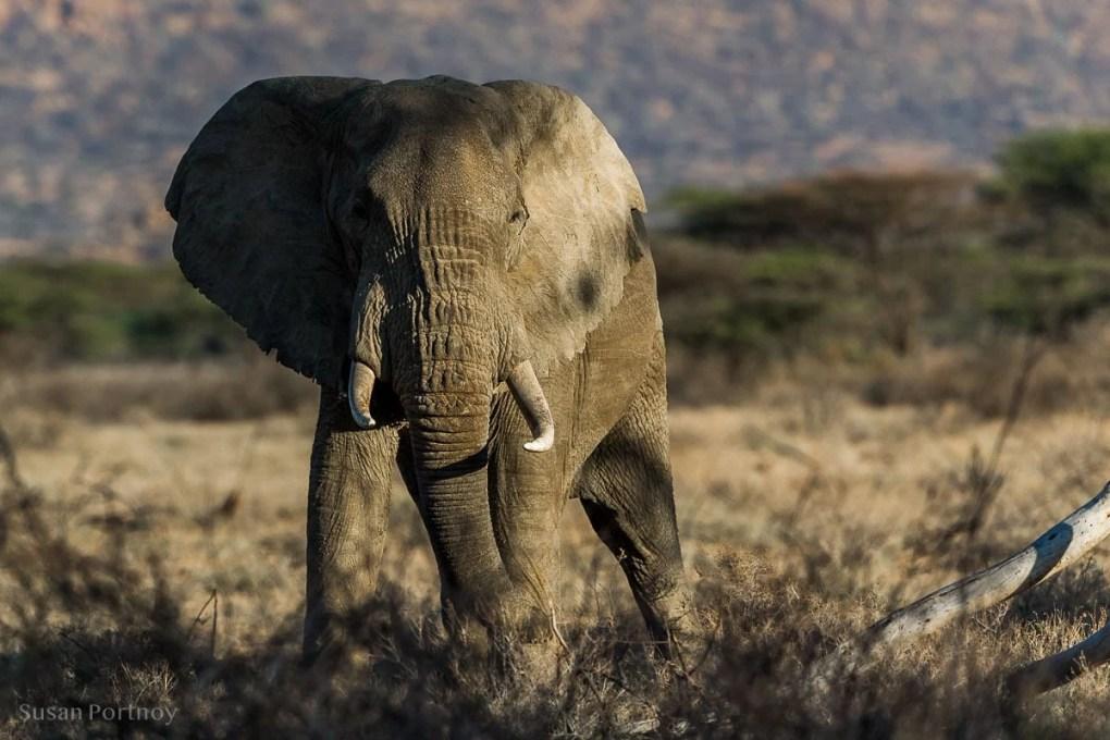 A bull Elephant facing the camera - Kenya Wildlife Safari
