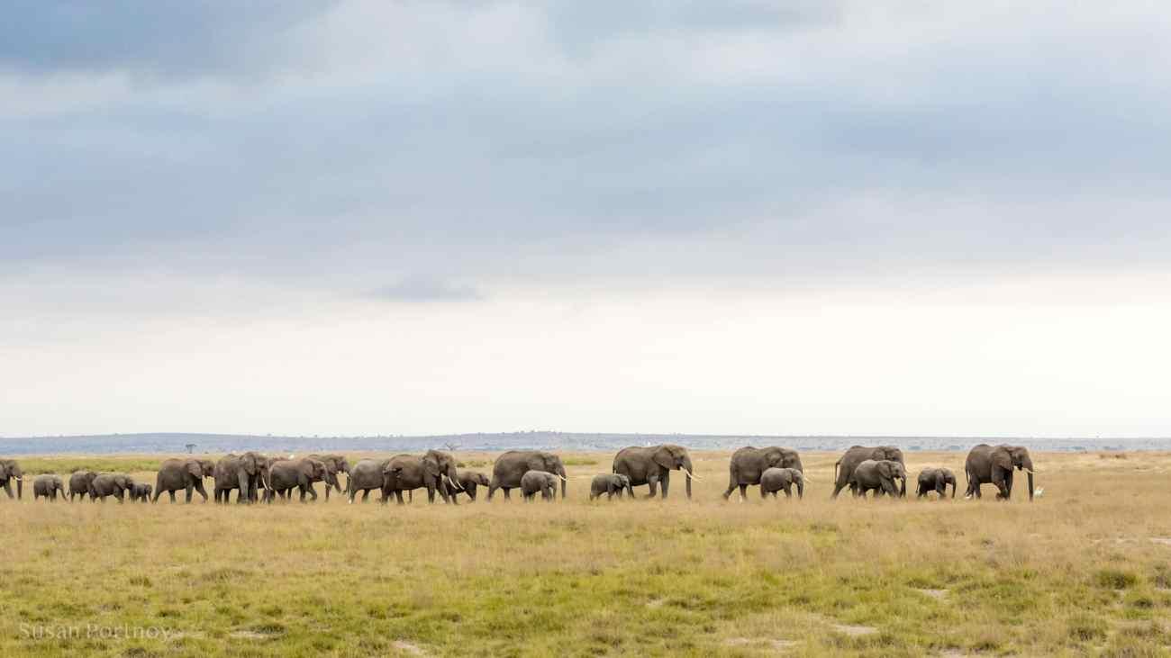 Large herd of elephants in Amboseli, Kenya