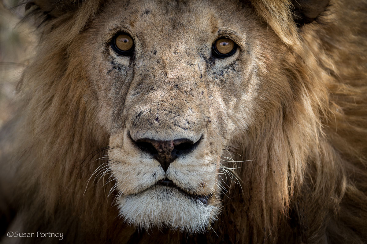 A handsome male lion - All you need to know to plan the best safari in Kenya