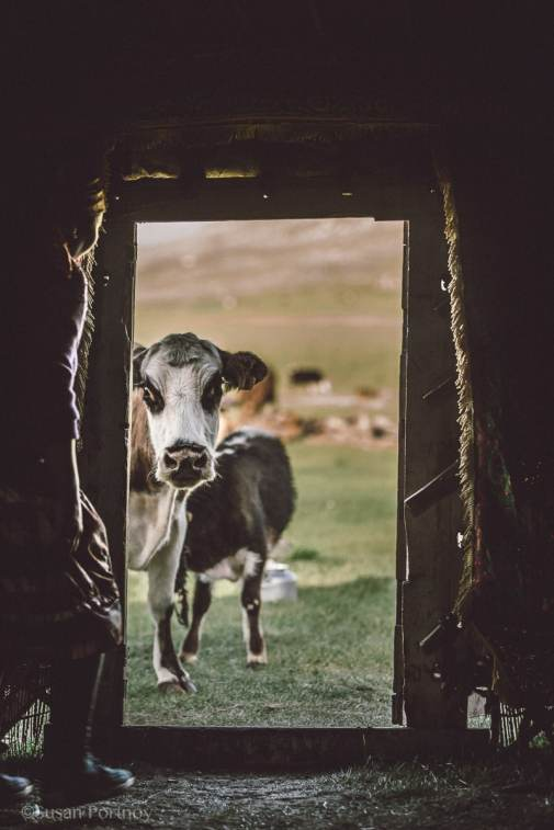 Cow in the doorway in Mongolia