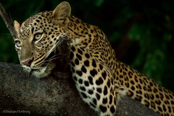 Leopard sitting in a tree in the Okavango Delta, Botswana