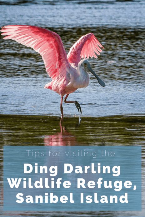 Tips for visiting the Ding Darling Wildlife Refuge on Sanibel Island, Florida. Where and when to go. What to bring.