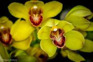 Close up Cymbidium NY Botanical Garden Orchid Show: Thailand