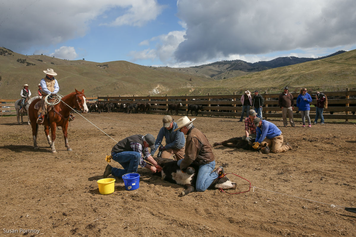 Triple Creek Ranch Cattle Branding Day in Montana - The Insatiable Traveler
