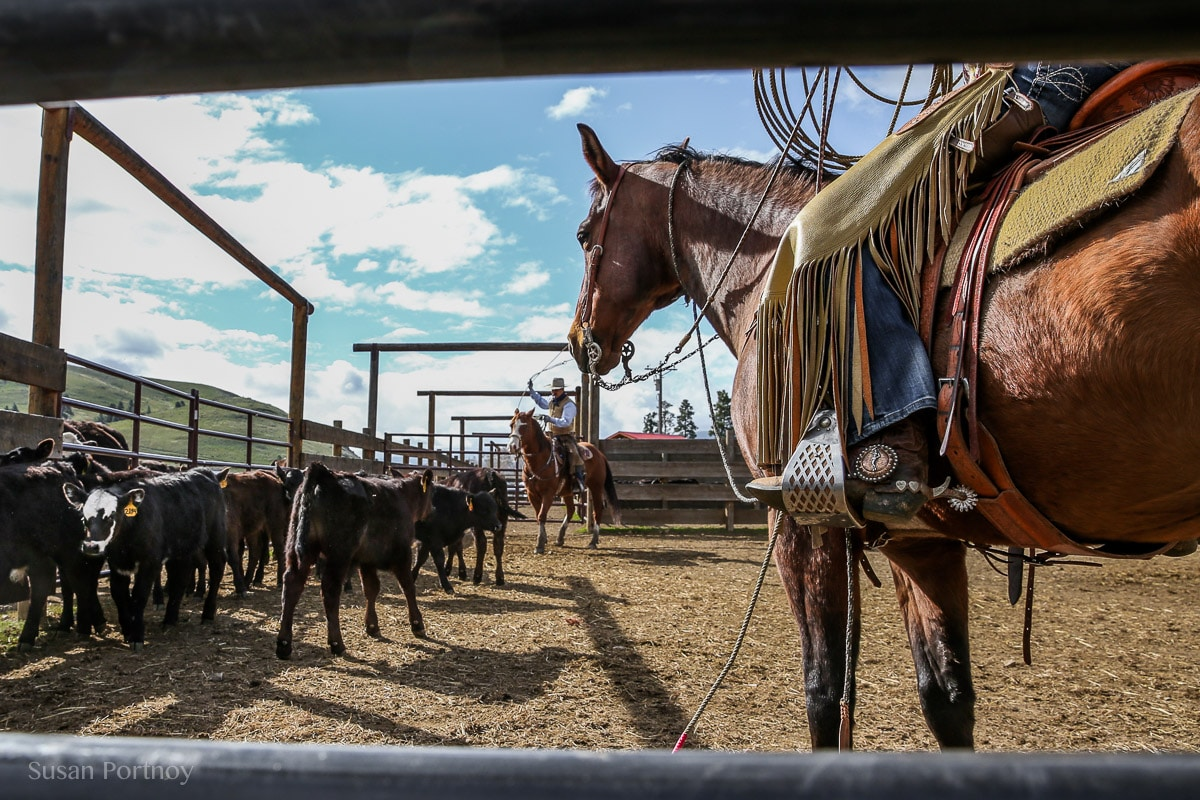 Low shot of horse in a pen with a cowboy about to rope some cows at a cattle branding