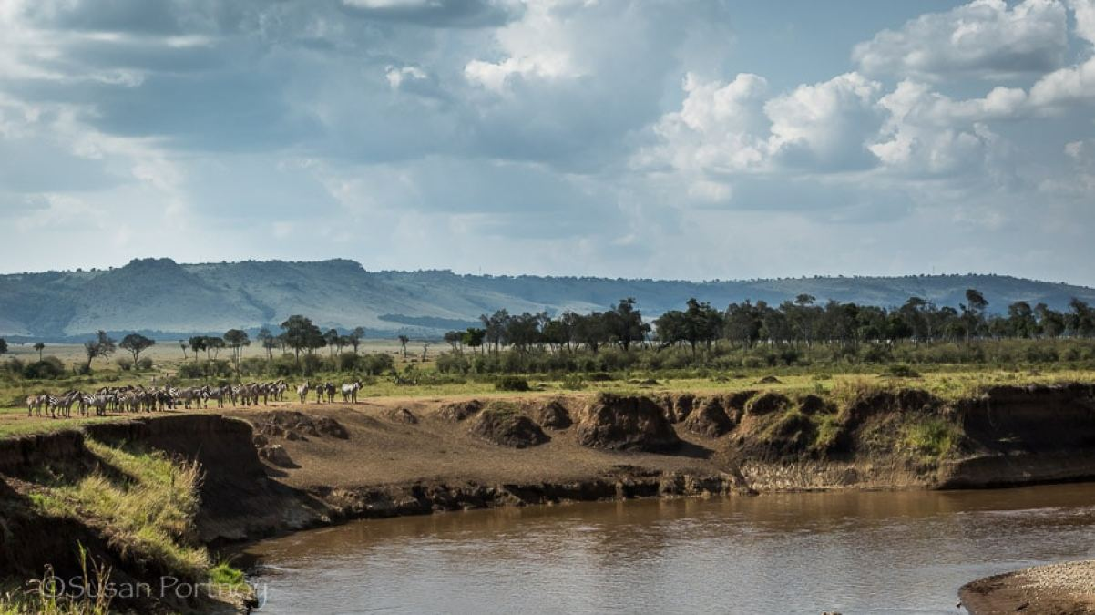 Zebra escapes from crocodile in Masai Mara, Kenya -001901.jpg