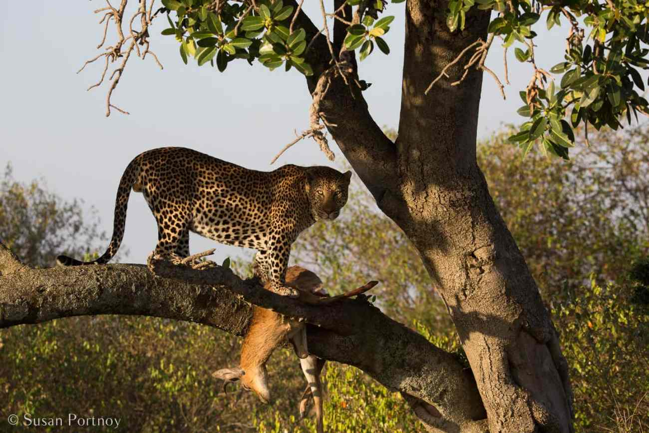 Tips for Taking Amazing Wildlife Photos on a Safari Adventure--leopard in a tree with an impala kill in the Masai Mara, Kenya