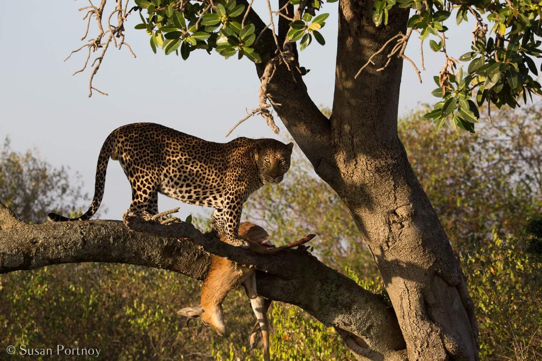 Tips for Taking Amazing Wildlife Photos on a Safari Adventure--leopard in a tree with an impala kill in the Masai Mara, Kenya