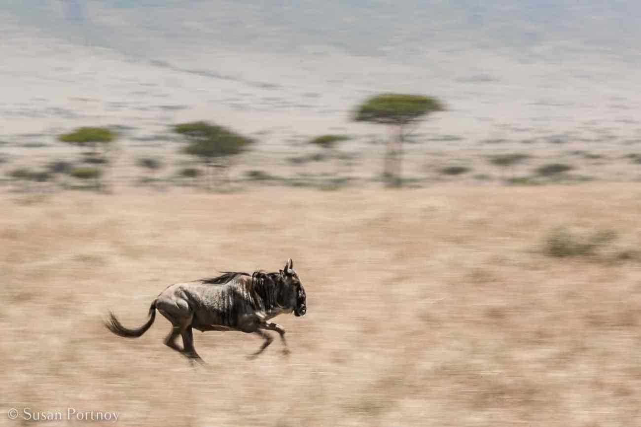 Tips for Taking Amazing Wildlife Photos on a Safari Adventure--Panning shot of wildebeest running in the Masai Mara in Kenya