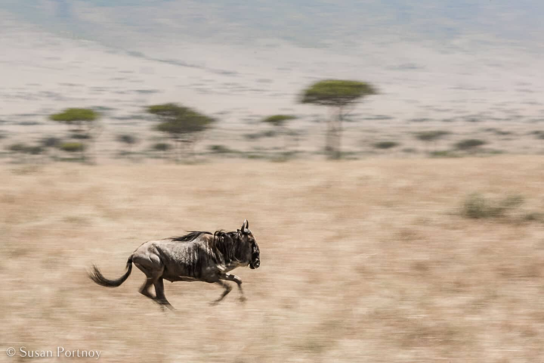 Tips for Taking Amazing Wildlife Photos on a Safari Adventure--Panning shot of wildebeest running in the Masai Mara in Kenya