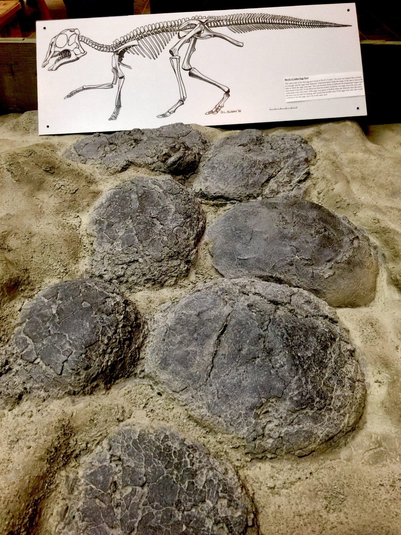 Casts of Hadrasaur egg nest, Finding Fossils with Wendy Sloboda- The Badland's Badass Dinosaur Hunter, Devil's Coulee, Alberta, CA