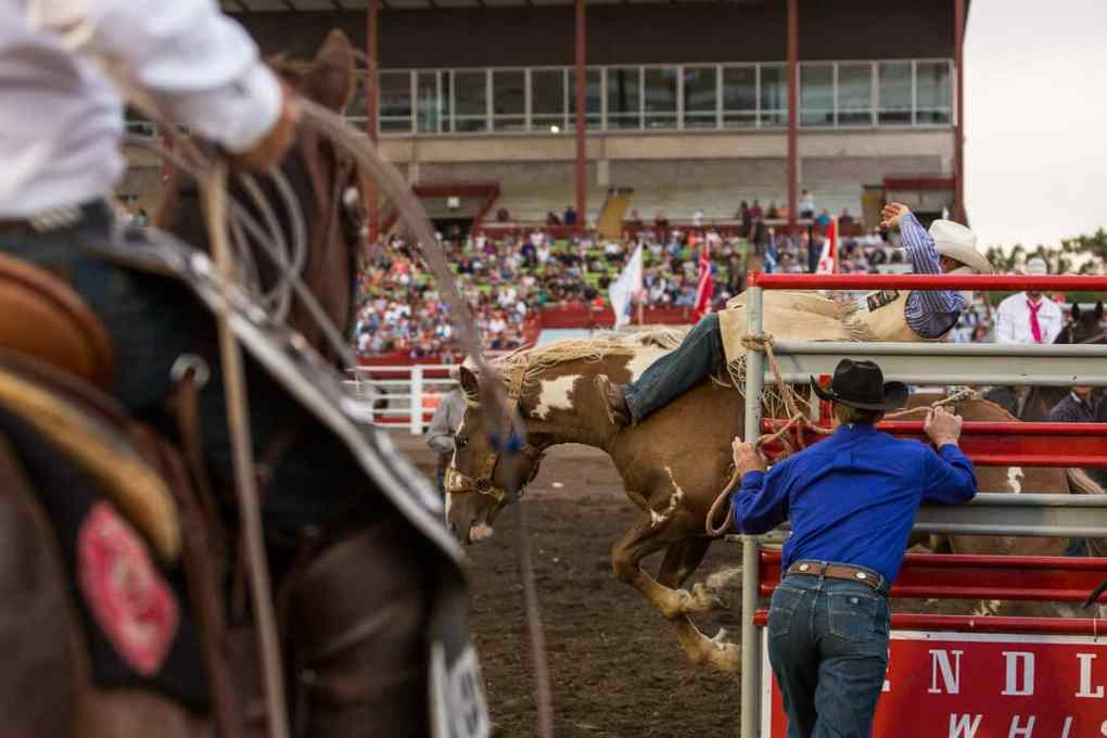 Gate opening at a rodeo with cowboy and bucking bronco passing through