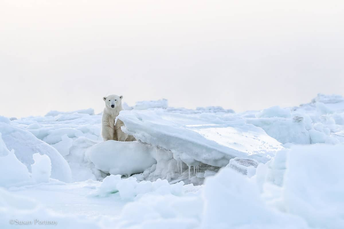 Polar Bear sitting on ice | What it's like to be on Canada's only Walking Polar Bear Photo Safar