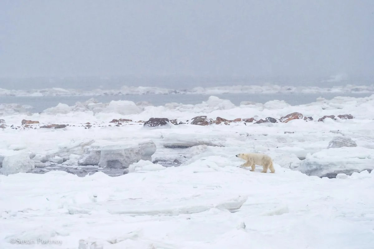 Polar bear walking on Hudson Bay | Canada's Walking Polar Bear Photo Safari -Seal River Heritage Lodge-Manitoba-128603
