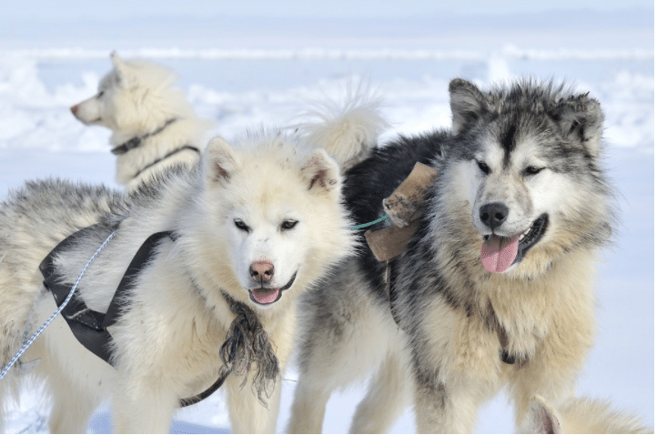 Kim Kim Dog Sledding | 8 Unique Winter Activities Worth Jumping on A Plane For