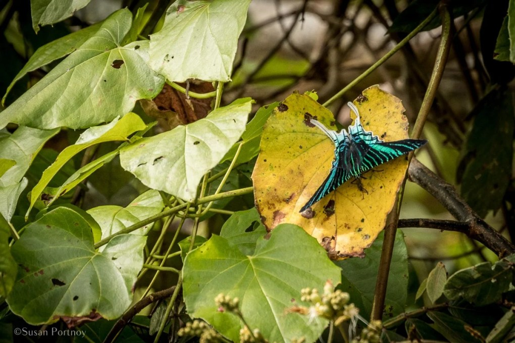 Swallow-tailed moth on a leaf | Amazon River Cruise Peru -International Expeditions-01-5