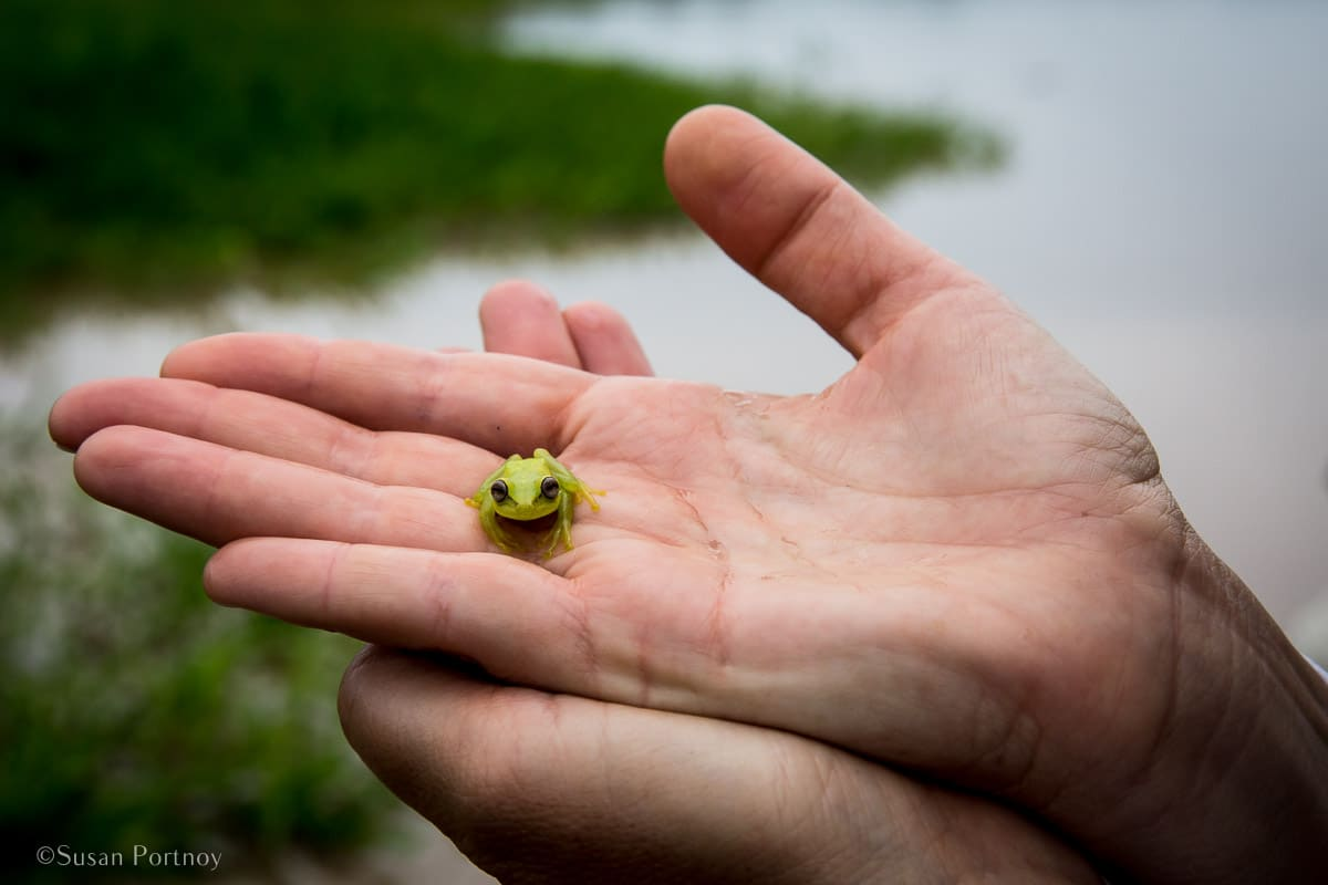 Polkadot tree frog in a person's hand | Amazon River Cruise Peru -International Expeditions-19