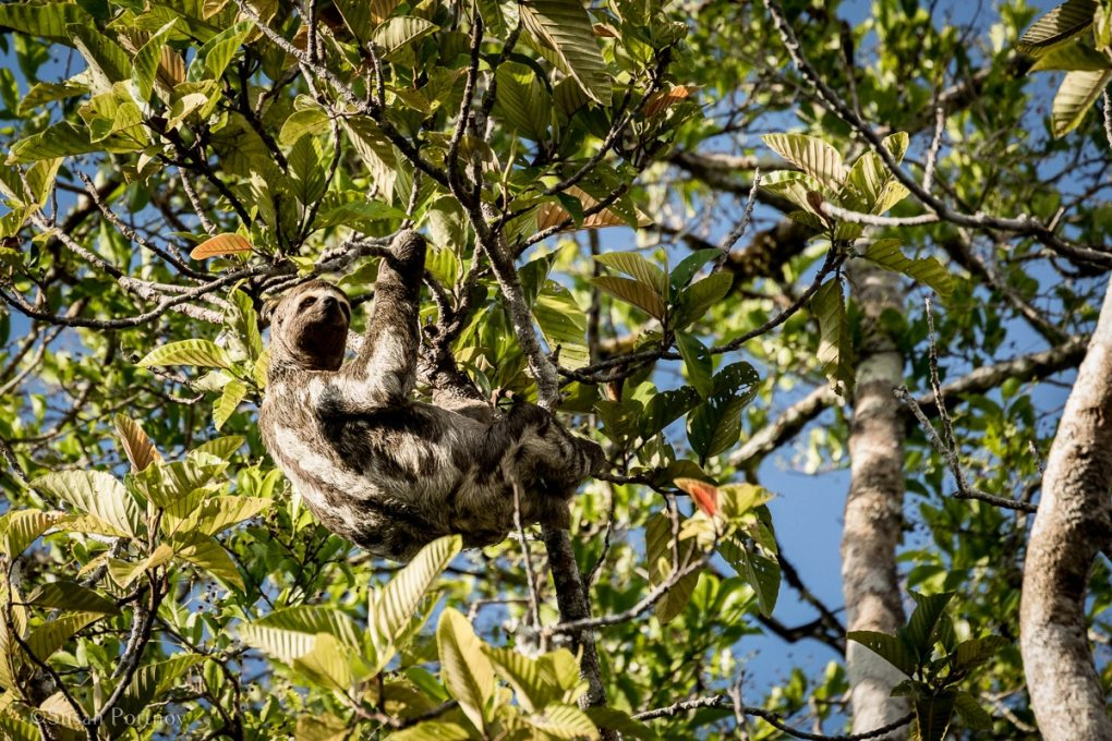 A Three-toed sloth in a tree | Amazon River Cruise Peru -International Expeditions-06